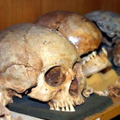 Photo of Mayan skulls in SUNY Plattsurgh laboratory