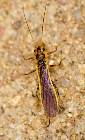 Photo of newly discovered insect Perlesta mihucorum