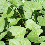 Photo of Viola spp. (violets)