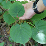 Photo of  Tilia americana (american basswood)