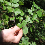Photo of Amelanchier spp. (shadbush or juneberry)