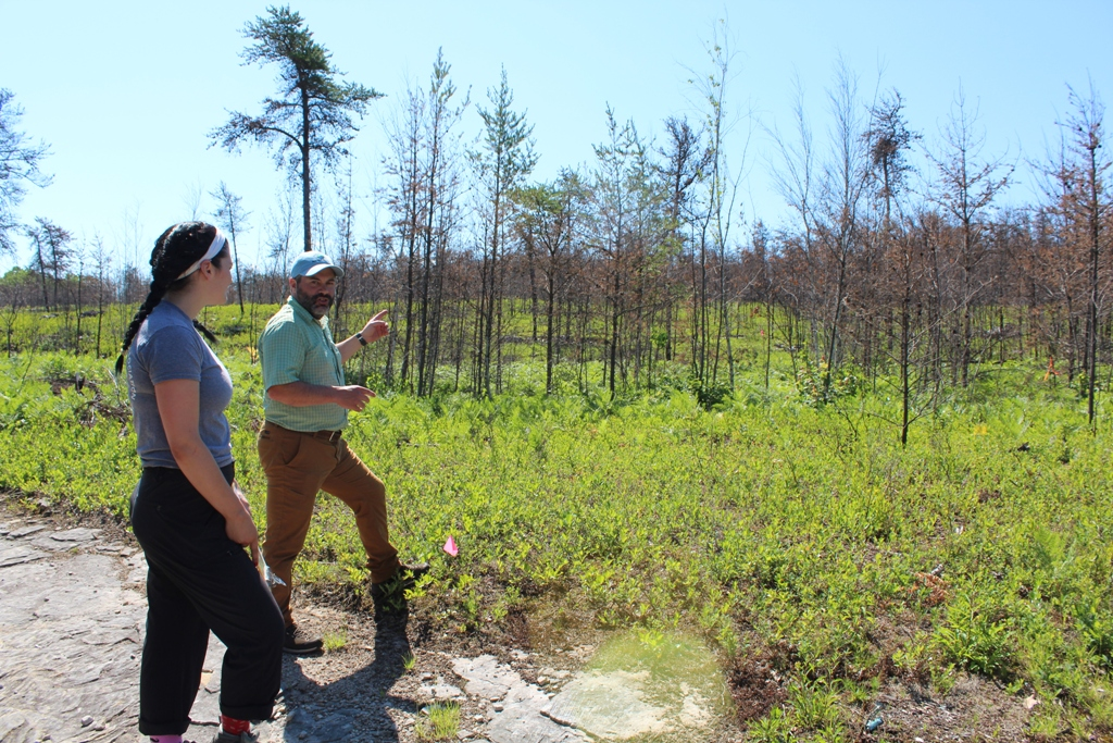 Showing the jack pine